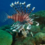 A lionfish swimming uneaten